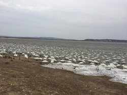 大沼の白鳥 1,673羽