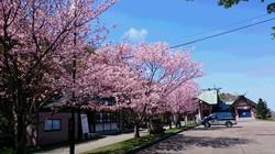 北門神社の桜