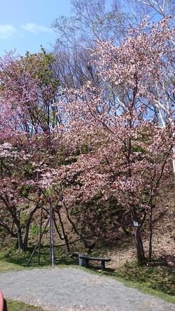 日本最北端の桜が開花&満開になりました!