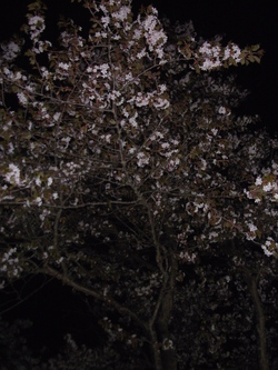 夜桜・・さっちー